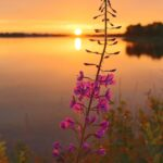 Yötön yö, kesä, horsma kukkii, Ranua