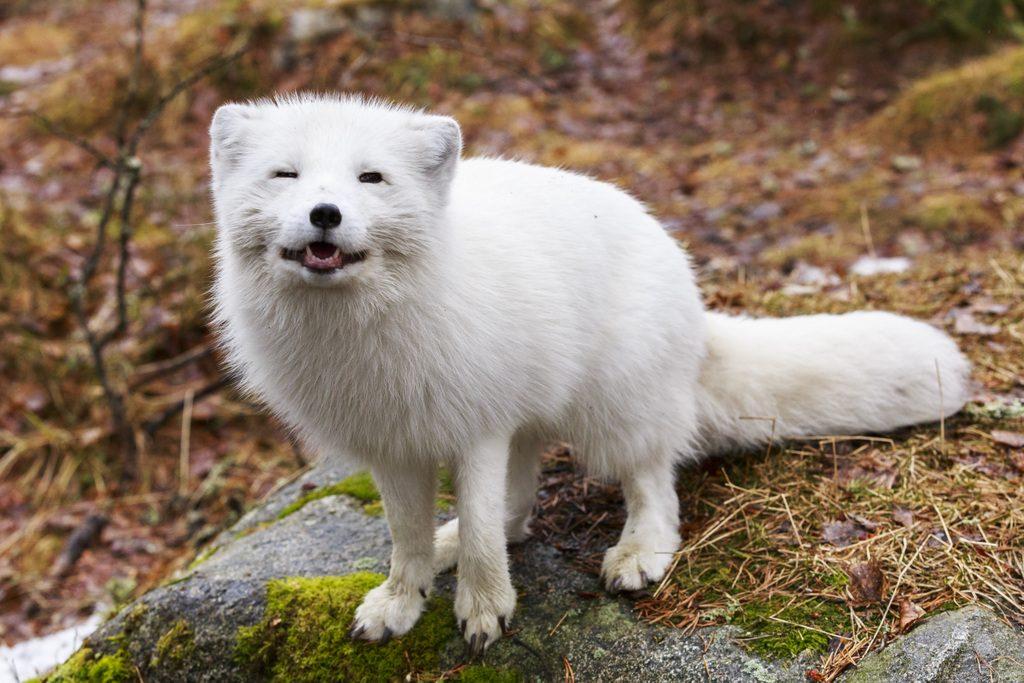 Naali, Ranuan eläinpuisto, Ranua, Kuva: Marko Junttila
