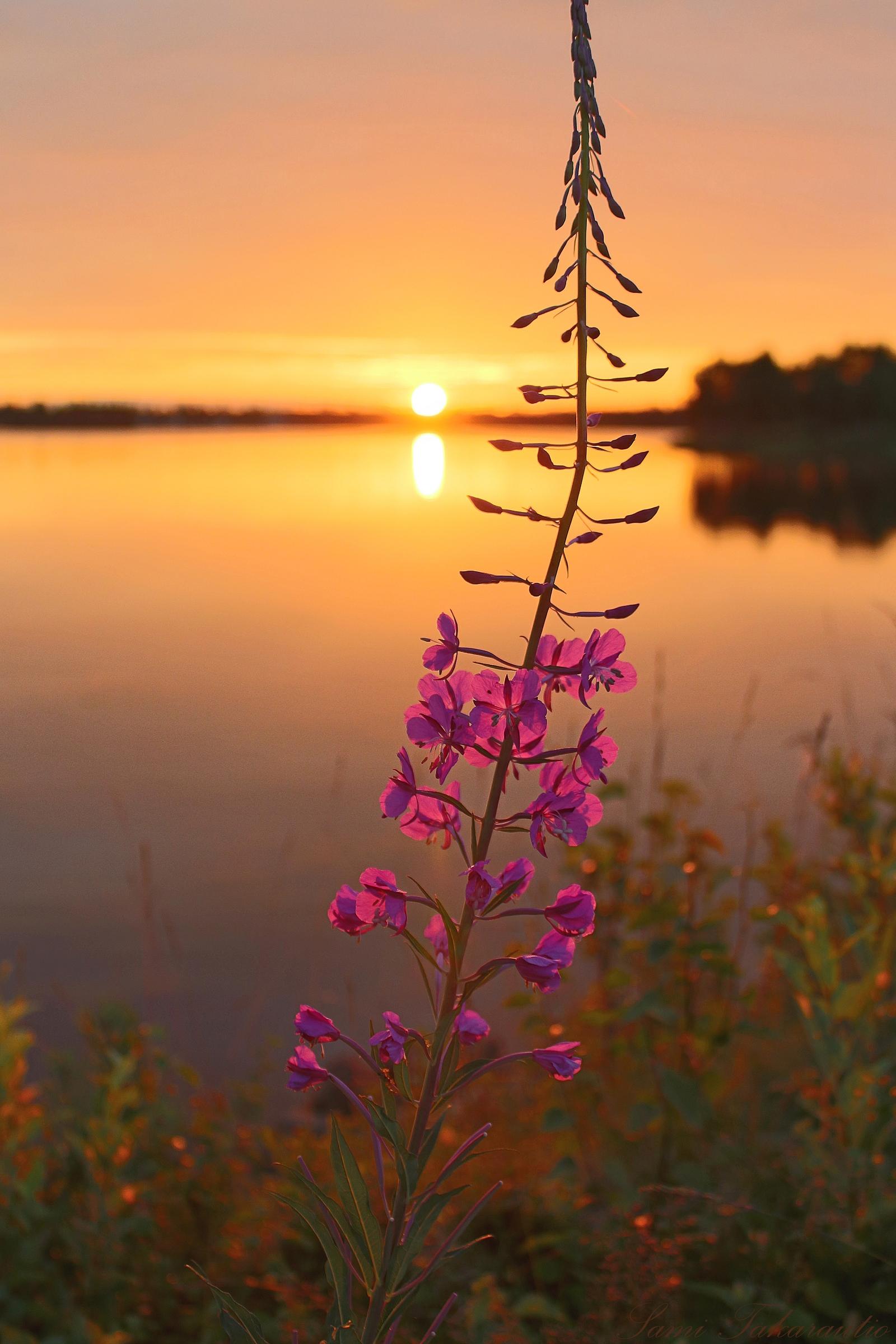 Keskiyön aurinko saa kukat kukkimaan ja tekee marjoista makeita Ranualla